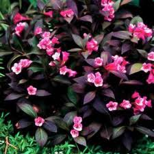 Midnight Wine Weigela.jpg