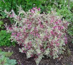 My Monet Weigela.jpg