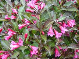 Summer Wine Weigela.jpg