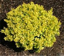 Bonanza Gold Barberry.jpg