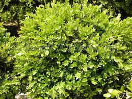 Green Velvet Boxwood.jpg