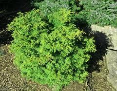 Chamacyparis (False Cypress) Kosteri.jpg