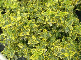 Golden Euonymus.jpg