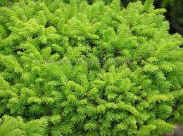 Little Gem Spruce.jpg