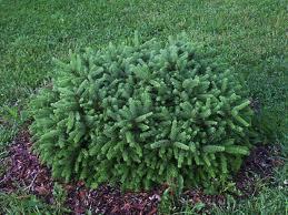 Pumila Spruce.jpg