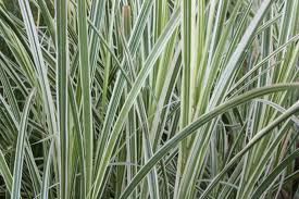 Japanese Silver Grass.jpg