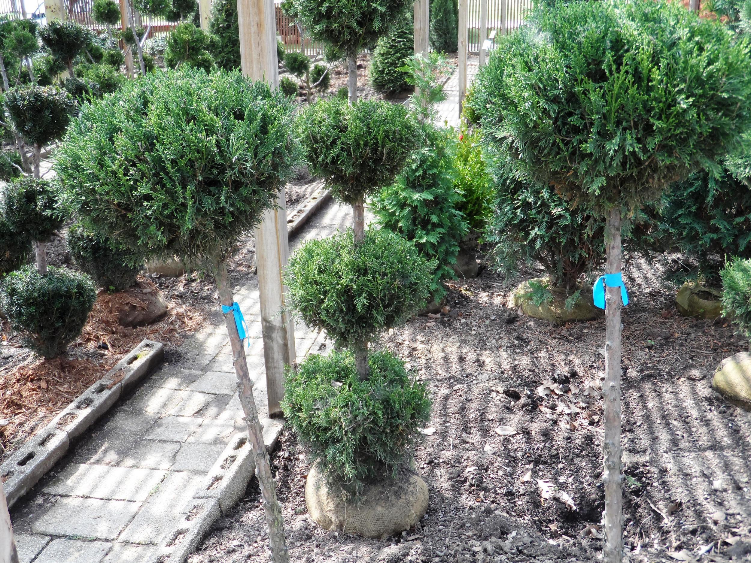 Arborvitae pom topiary.JPG