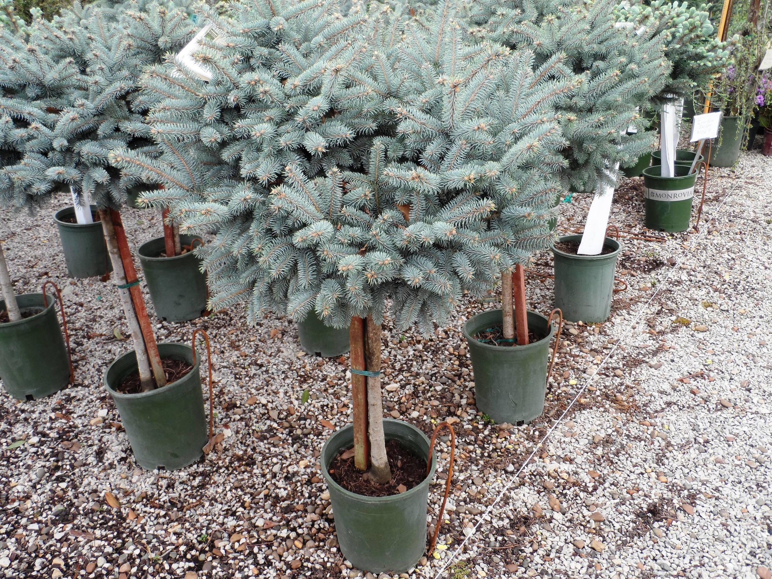 Blue Globe Spruce on Standard