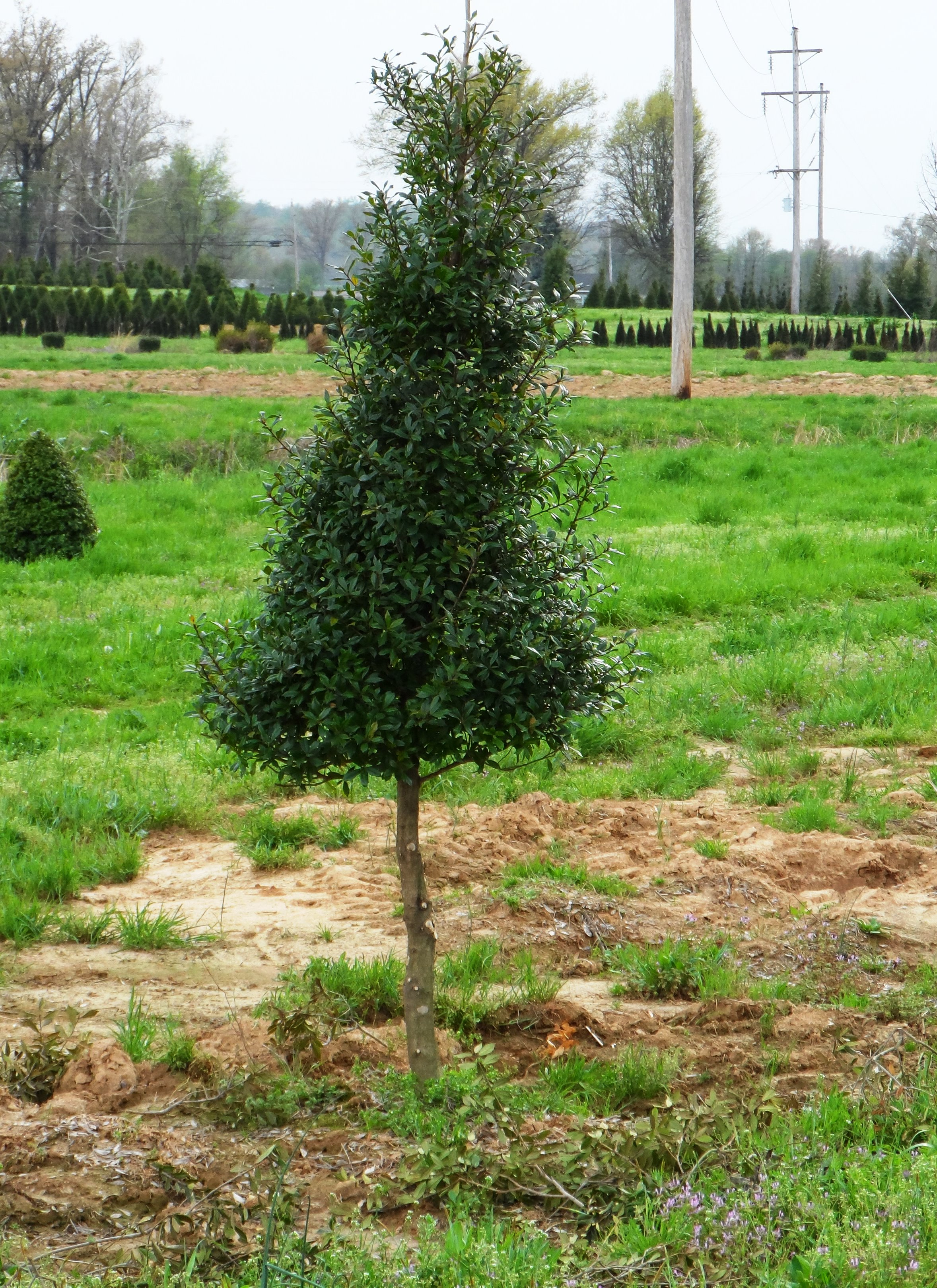 Holly Topiary.JPG