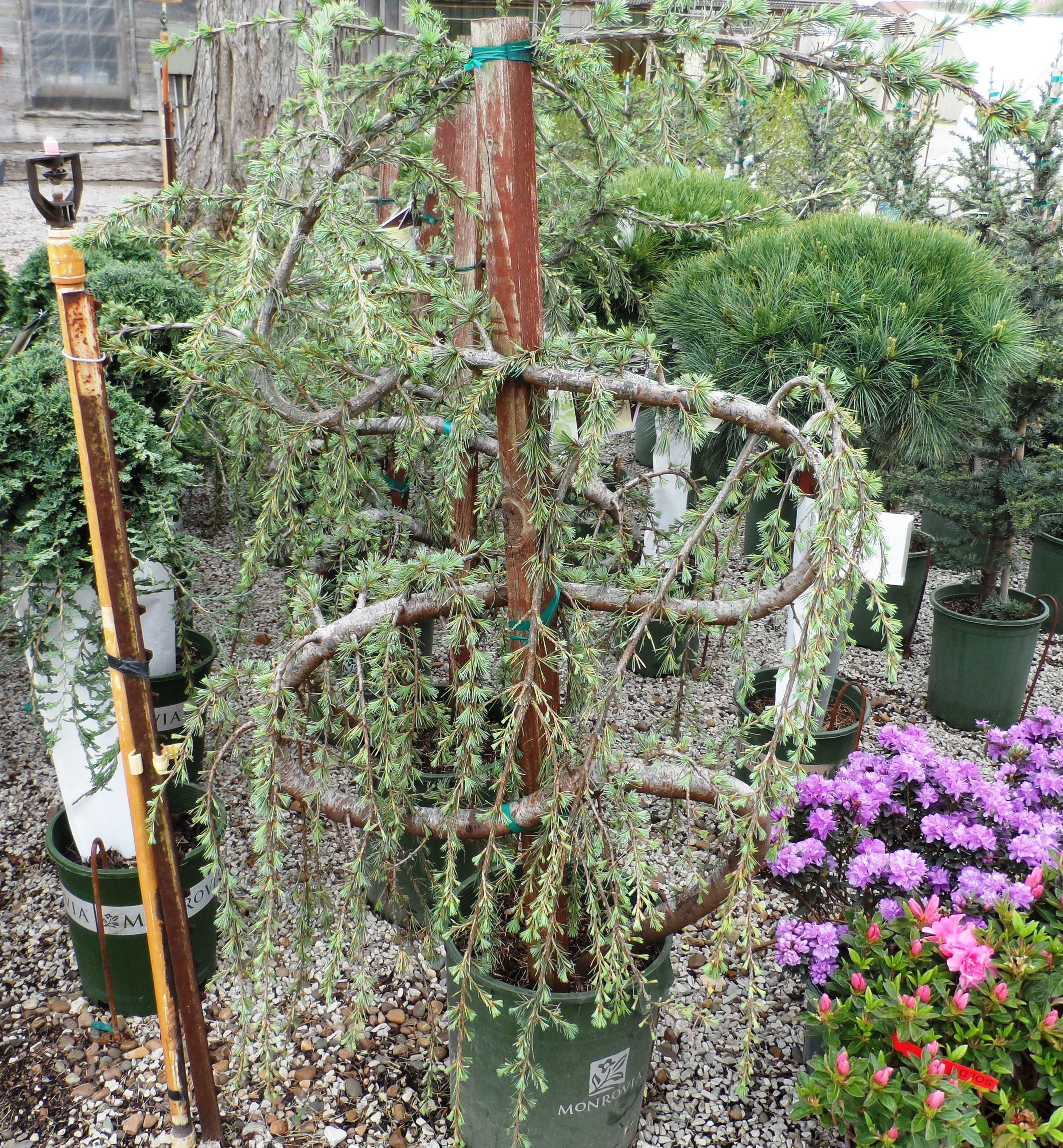 Blue Cedar Serpentine