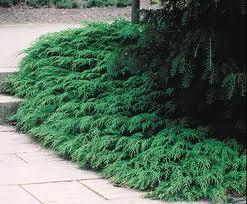 Siberian Cypress.jpg
