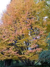 Persian Parrotia.jpg