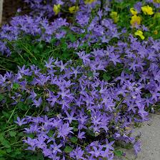 Campanula Blue Waterfall - sun to partial shade, 8 - 10 inches tall, moist well drained soil