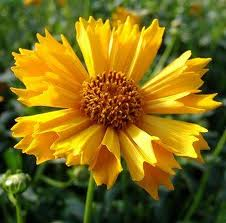 Coreopsis Jethro Tull - 17 to 19 inches tall likes sun