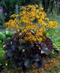 Ligularia dentata 'Britt-Marie Crawford' -dark chocolate-maroon leaves with dark purple undersides, rather flat orange-yellow flowers bloom, perfers morning sun afternoon shade