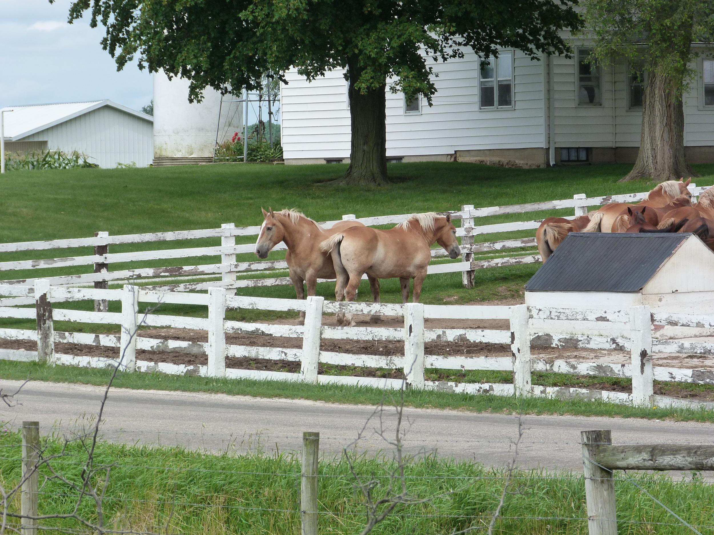 Sorrel workhorses at an Amish farm.
