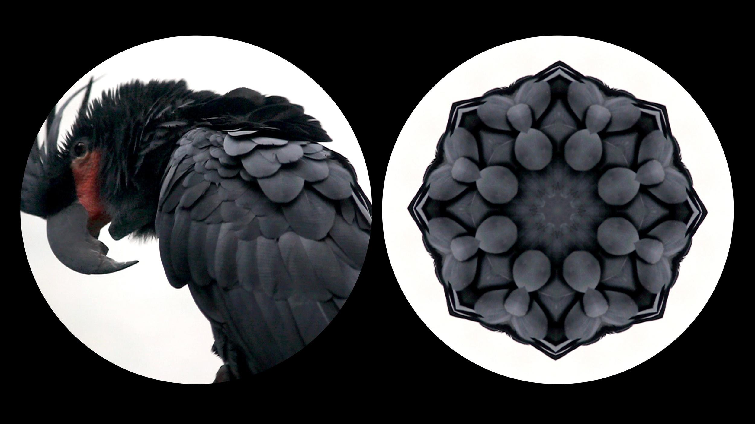Leslie Thornton  Binocular Series: Black Parrot, HD video, 4min. 2012