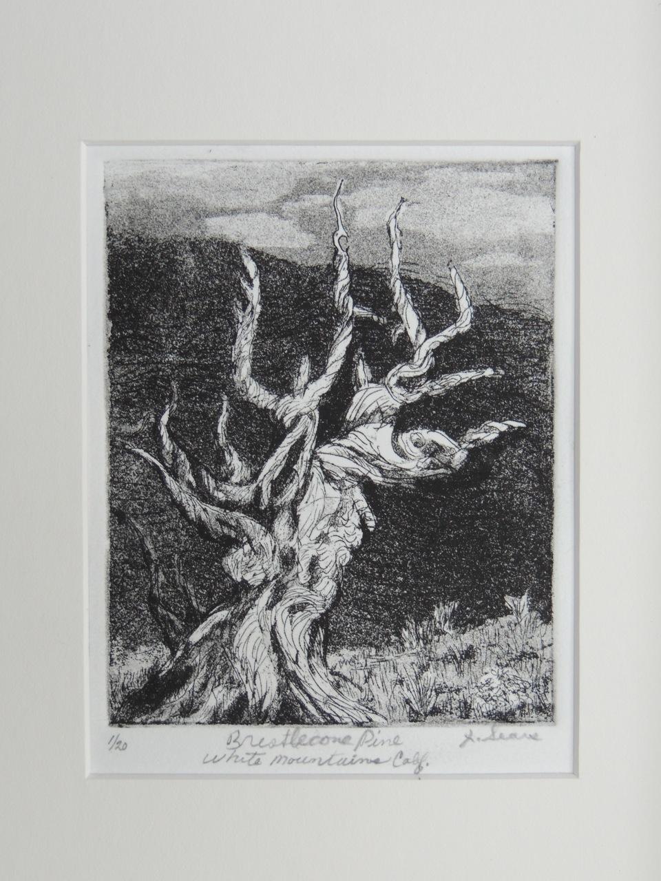 Bristlecone Pine White Mountains California (3000-4000 yrs old)