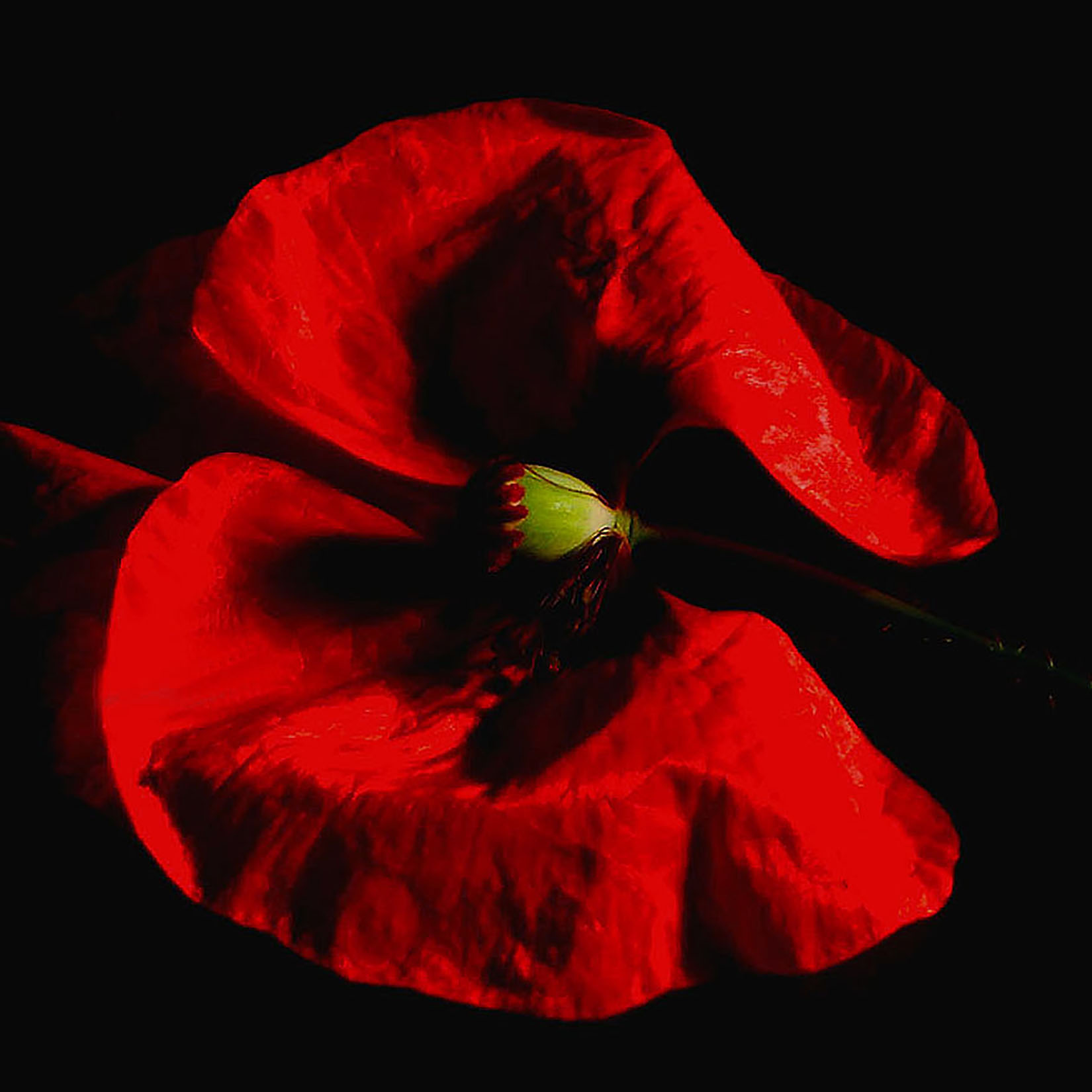 Red Poppy on Black.JPG