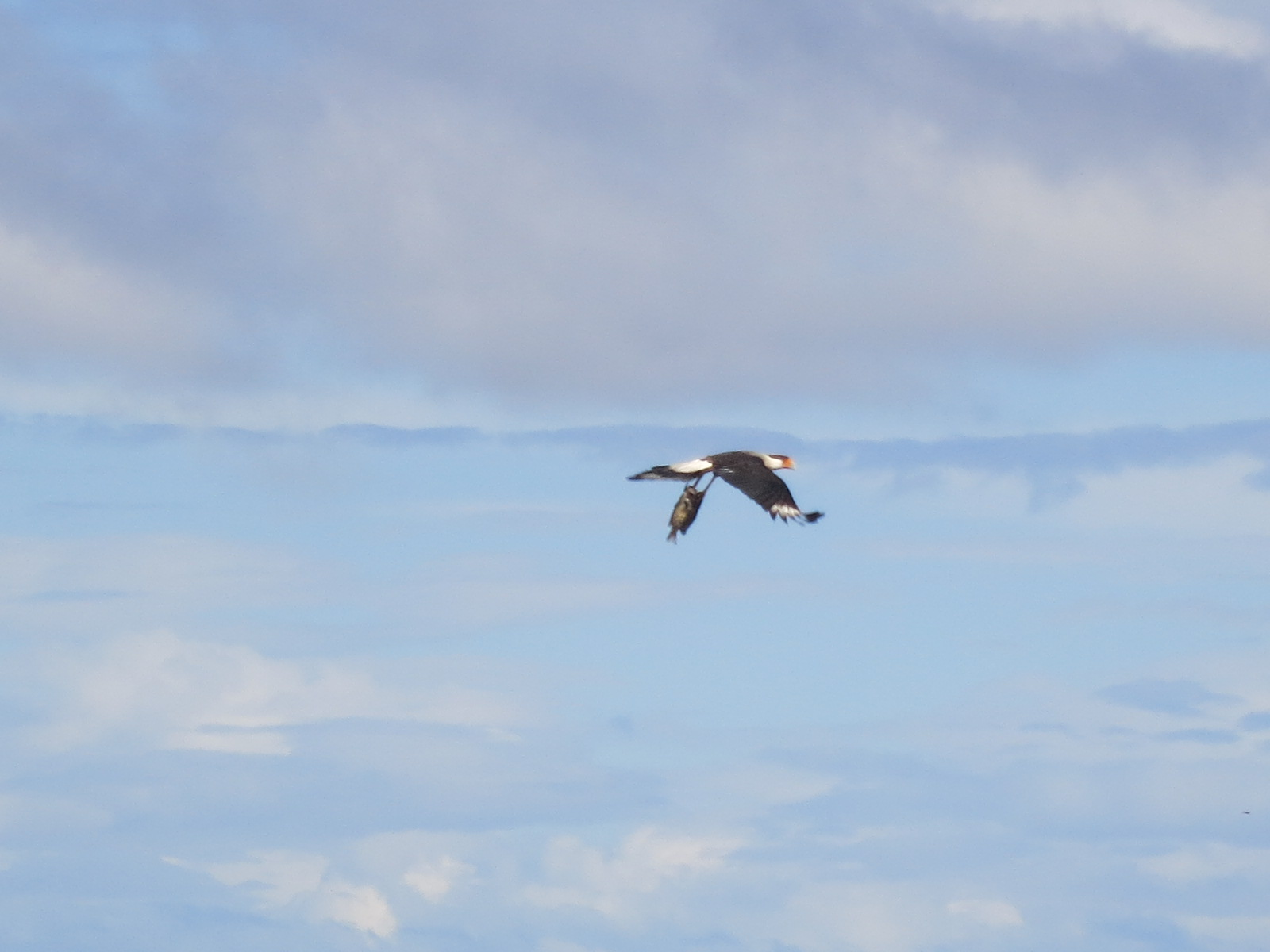 Look closely to see if you can see what this bird is carrying