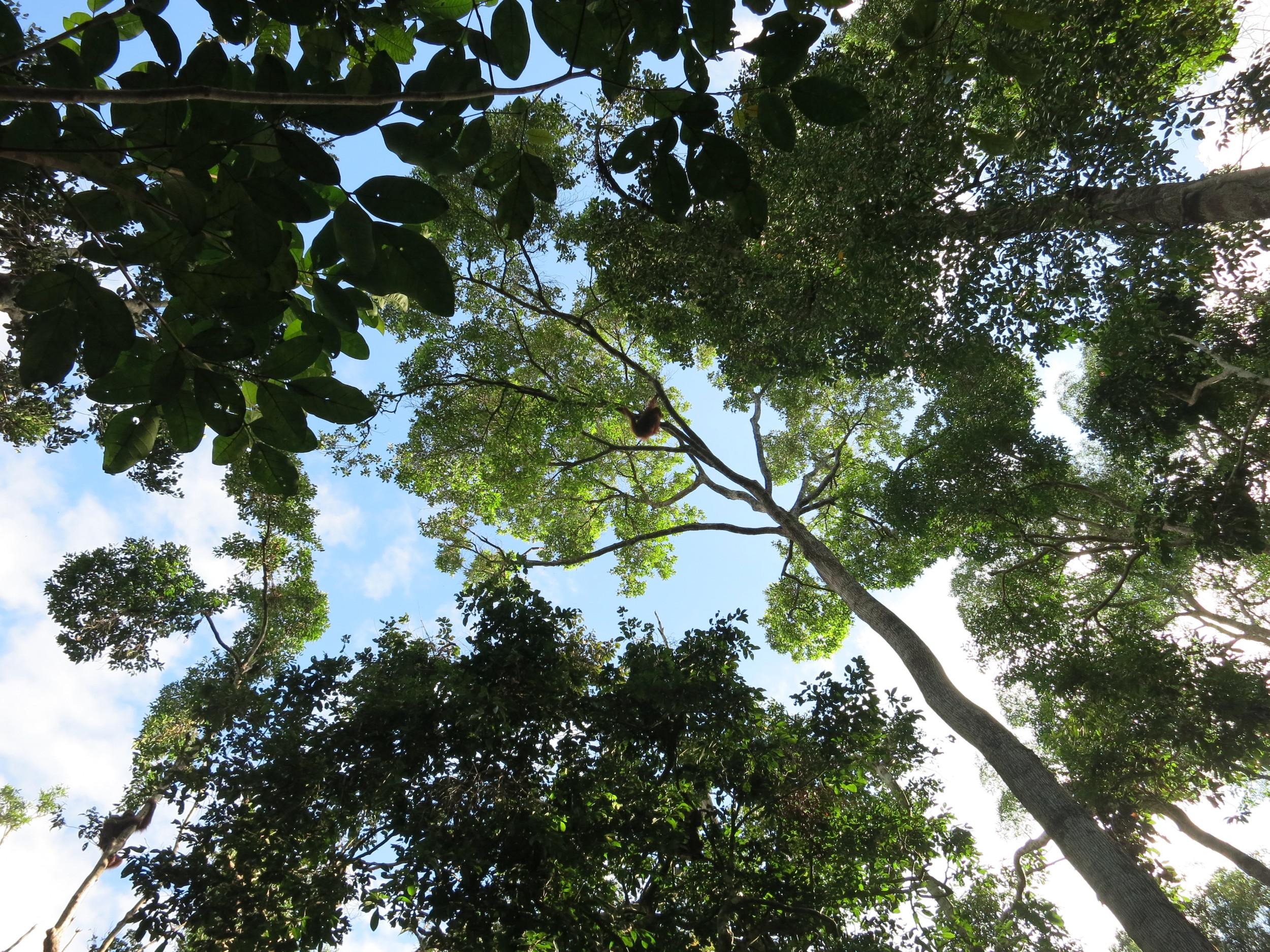 Find the Orangutan!