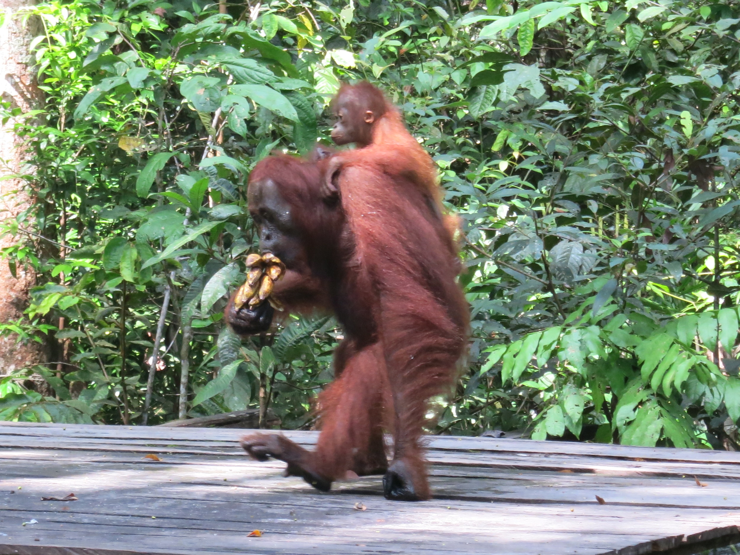 Getting away with 3 bunches of bananas!