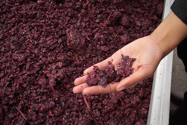 Andrea McBride holding red wine grapes skins at the vineyard.