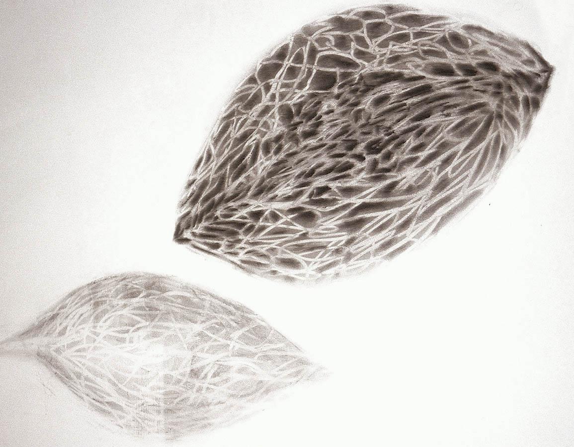 drawing 3 seed &leafshadow.jpg