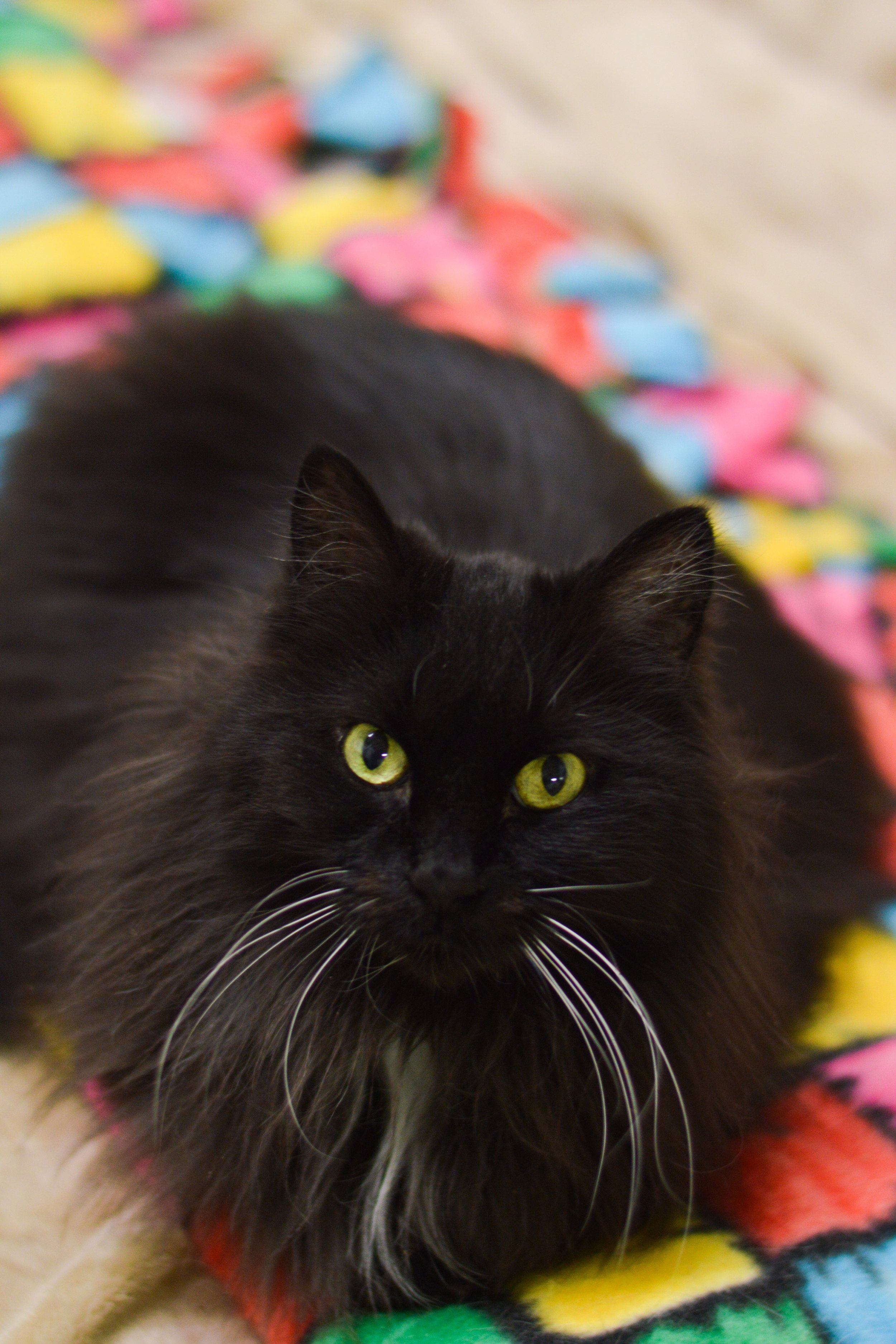 - Ebony is our oldest cat at 20 years of age. She is hyperthyroid and also has inflammatory bowel disease requiring daily medication and moitoring.