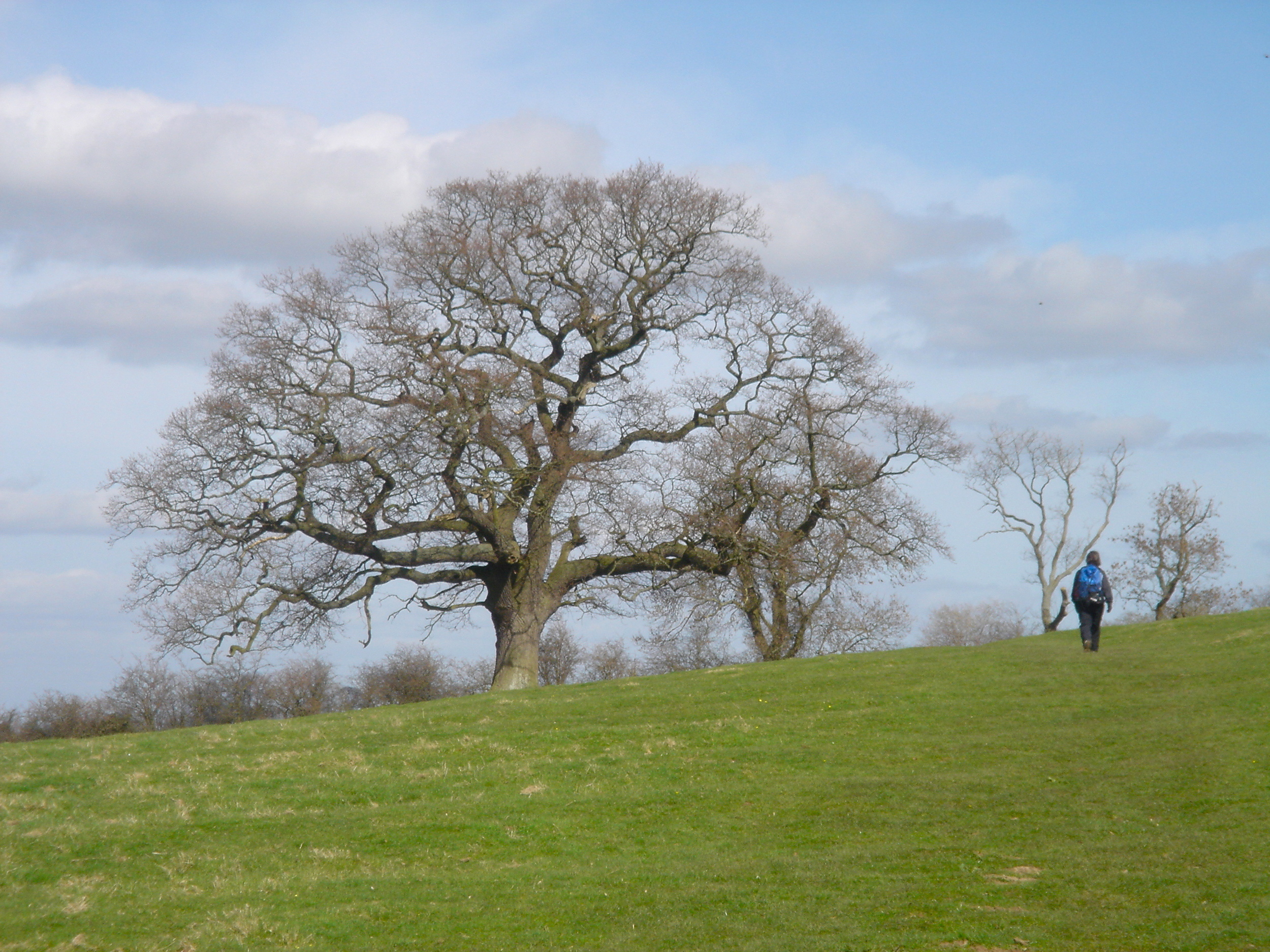 Stately oaks are scattered along the Cotswold Way.