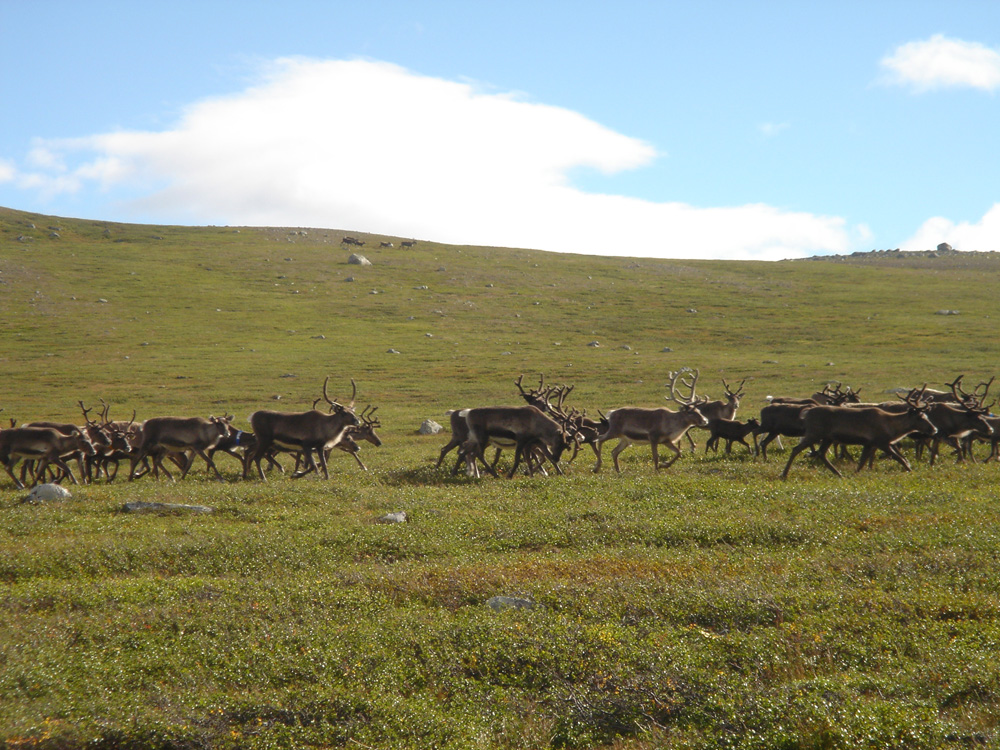 You're sure to see herds of reindeer on the Kungsleden.