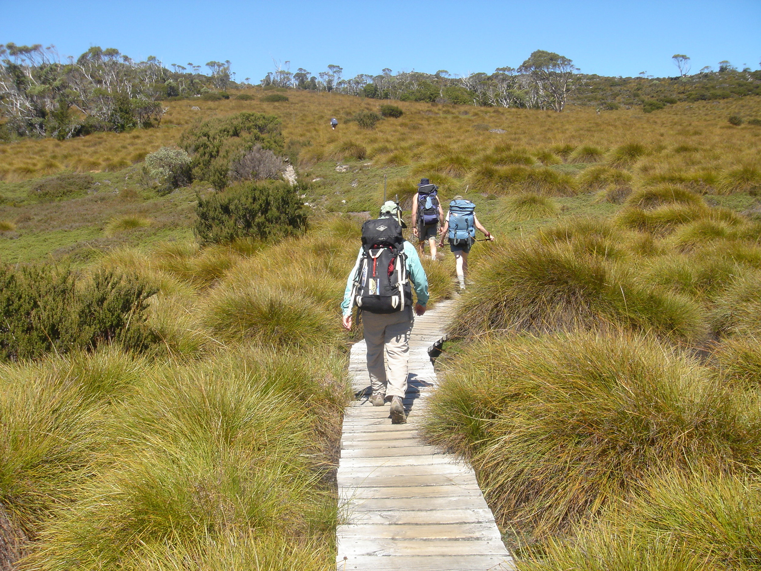 Portions of the Overland Track pass through extensive meadows of distinctive button grass.