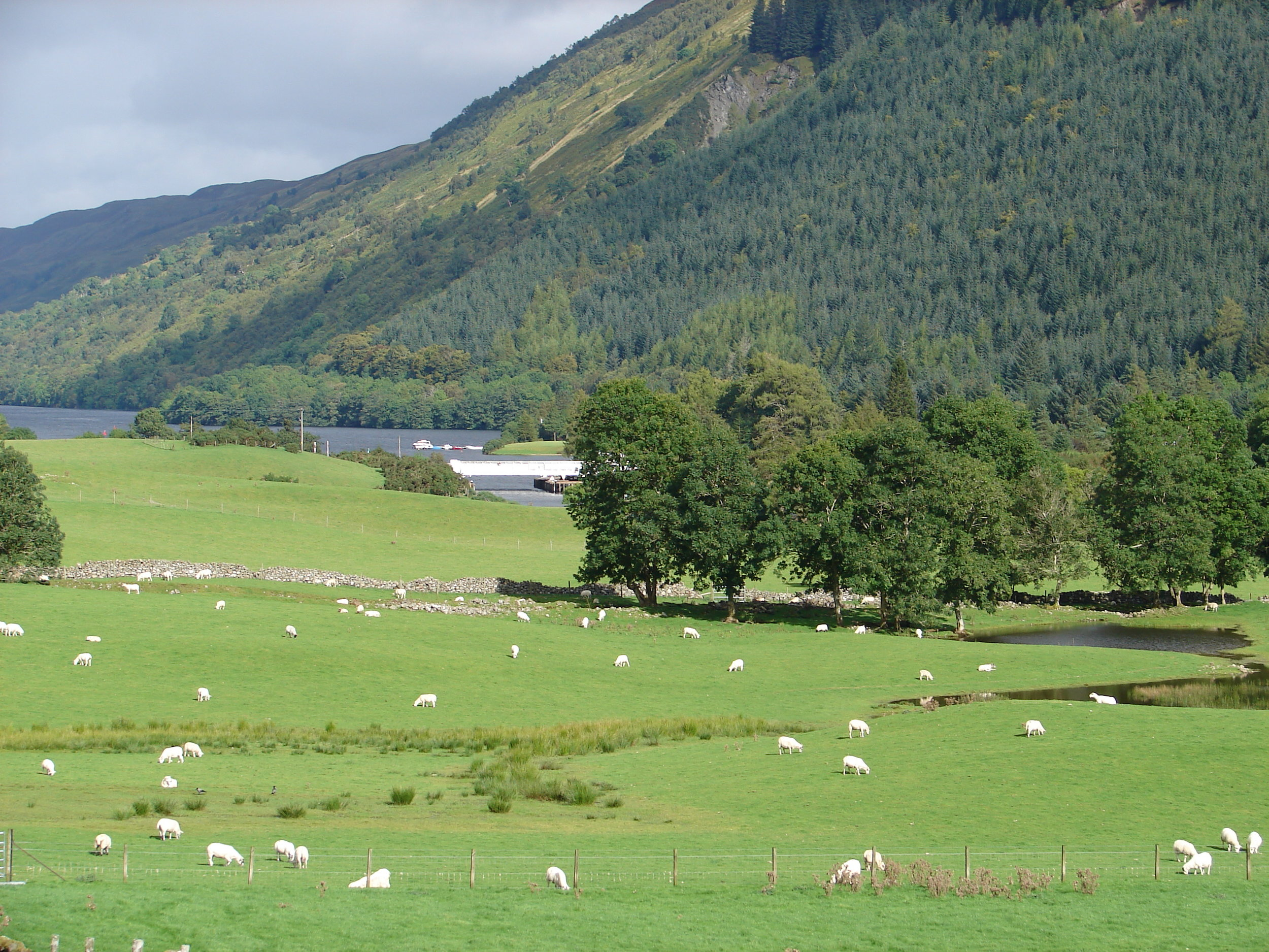 Sheep farming and rock walls are common features of the Scottish countryside.