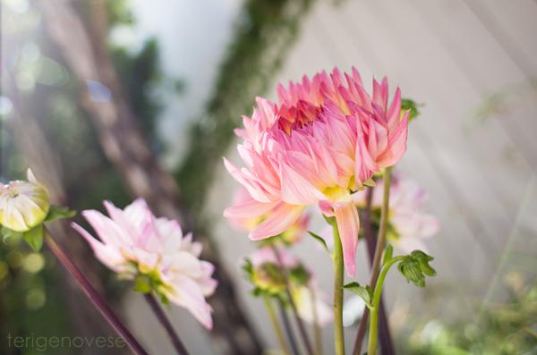 dahlia flower fine art photograph