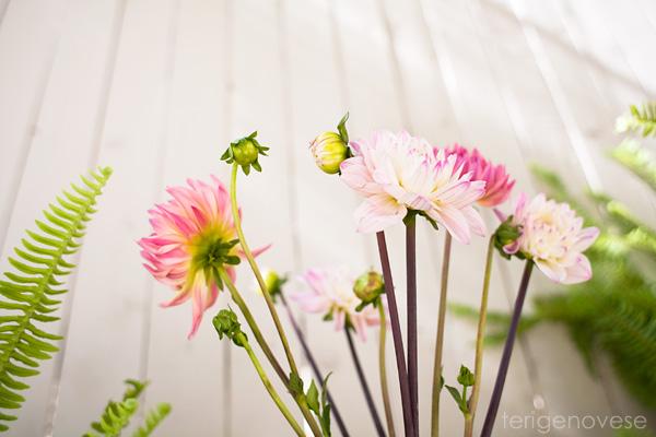 fine art dahlia flower photograph