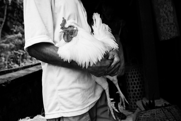 Bali Documentary Travel Photography - A Balinese Ceremonial Cock Fight, in the village of Sideman