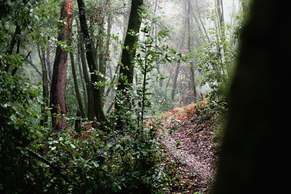 Santa Cruz, CA Redwood Forest - foggy landscape photograph