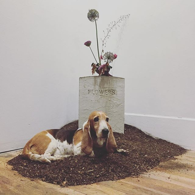 "#tbt to the de-installation of Travis Hetman's ""Tom Waits Tuesday's"" Pop up exhibition, when Jasmine decided to finally make this dirt pile her nest. #dogsoftheartworld #gallerydogs"