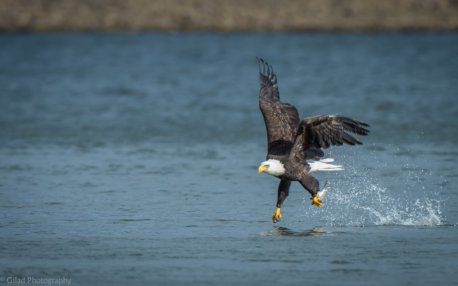 Bald Eagle fishing at Conowingo Dam
