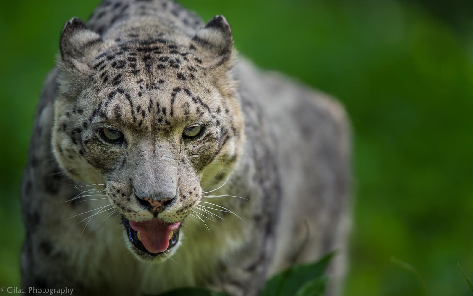 Snow Leopard.jpg