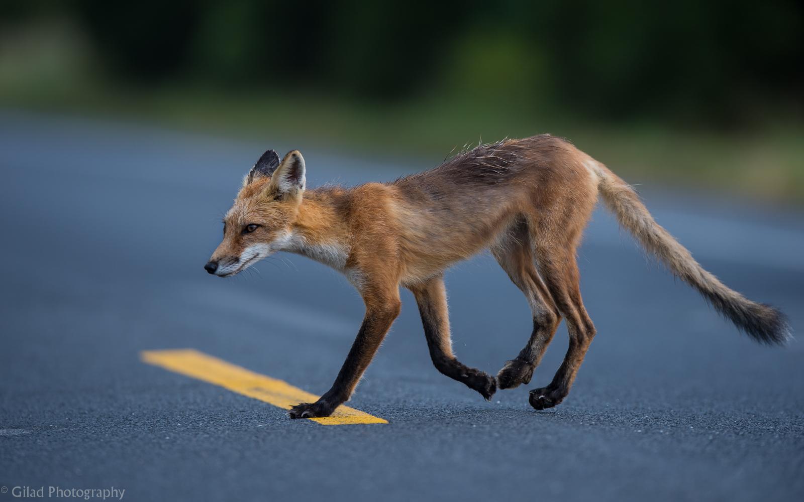 Fox Crossing.jpg
