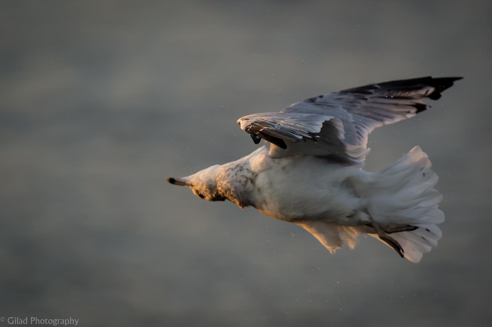 Drying Gull.jpg