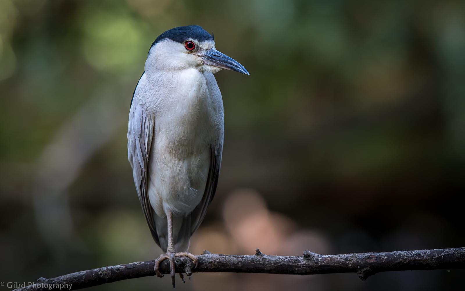 Black-crowned Night-Heron Leg Missing.jpg