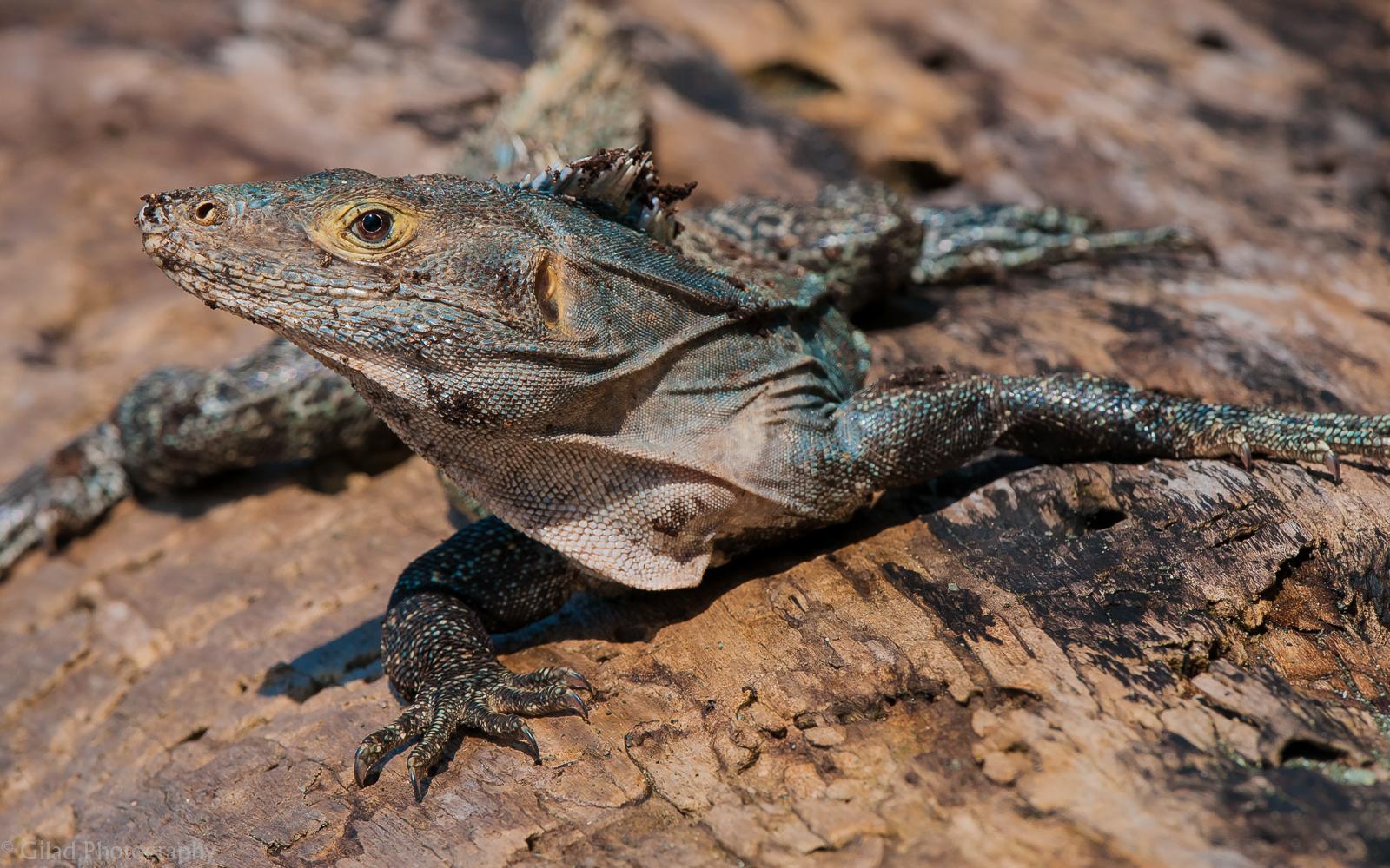 Lizard-Profile.jpg