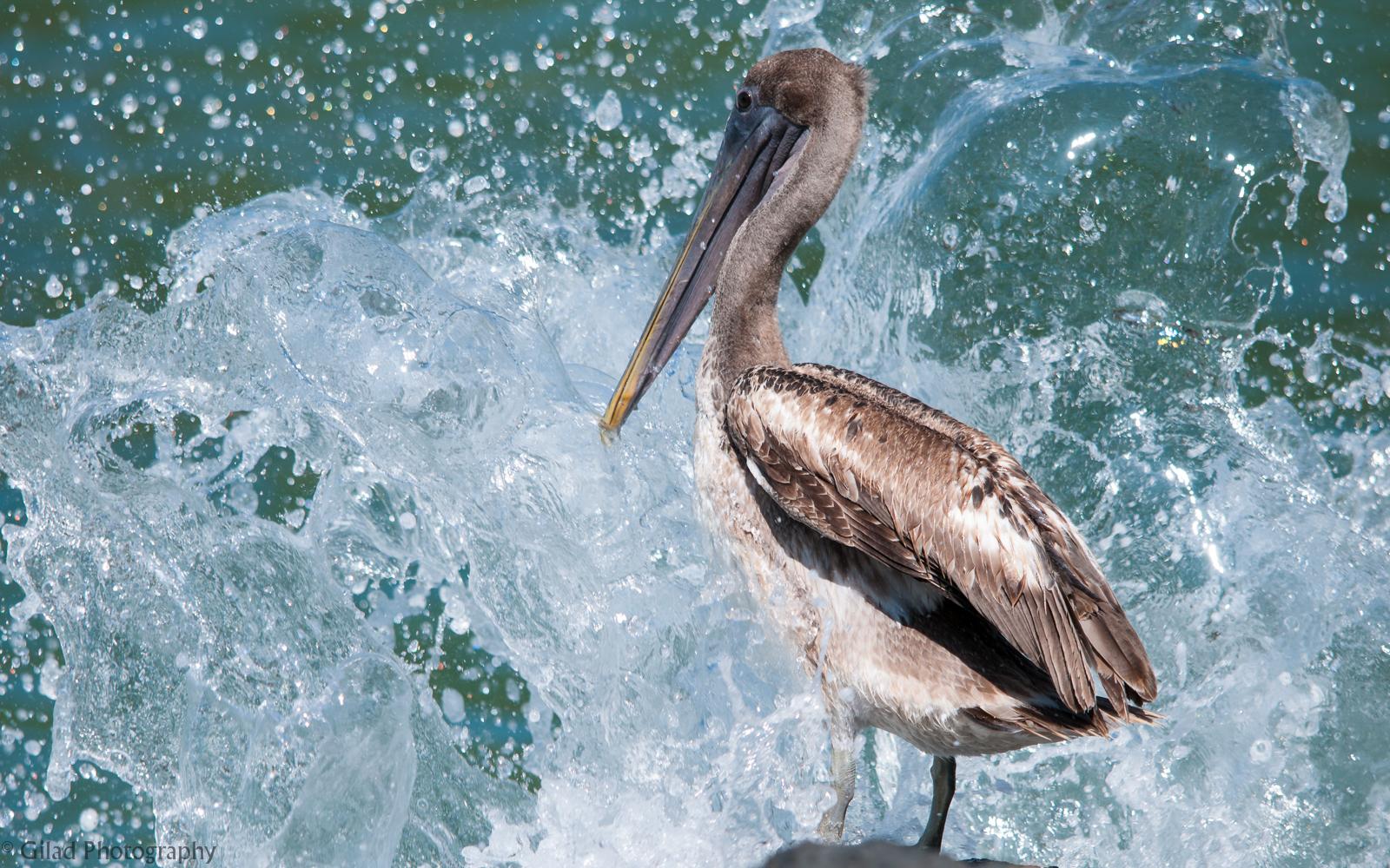 A-Pelican-Getting-Splashed.jpg