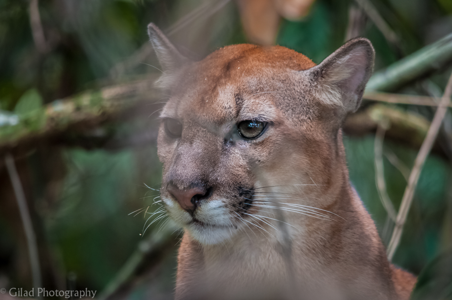 A puma in the OSA Peninsula in Costa Rica