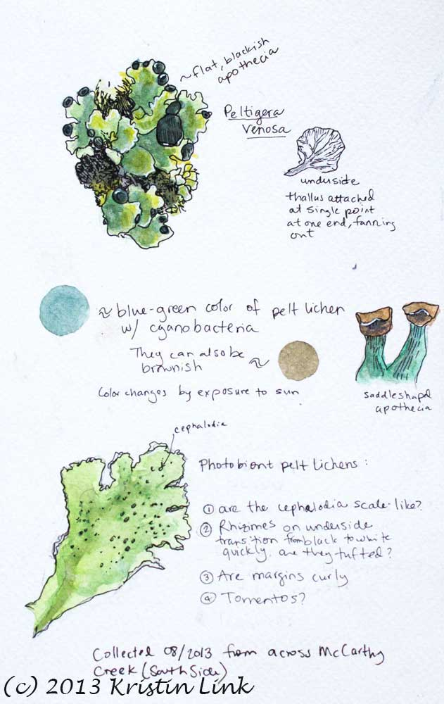 Illustrated notes and observations from keying out pelt lichens