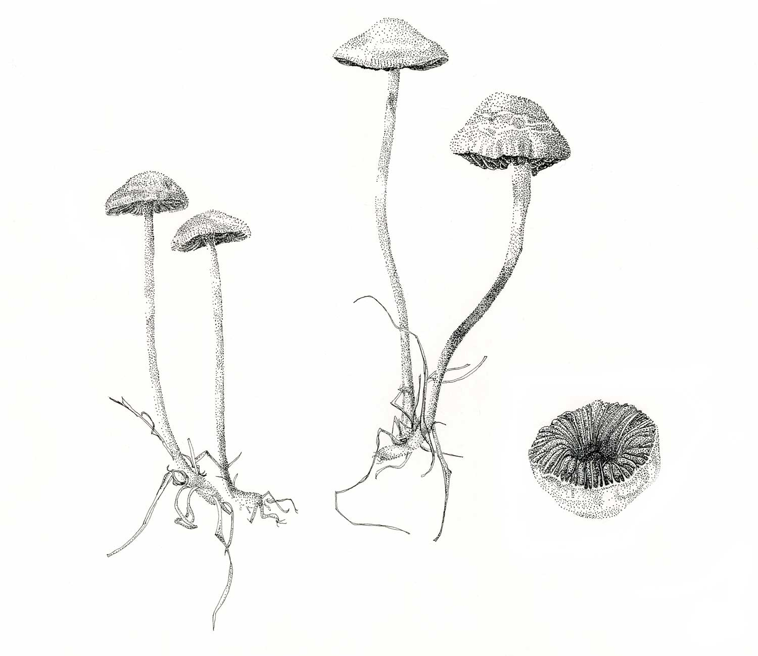 Mushroom study. Pen and ink on paper