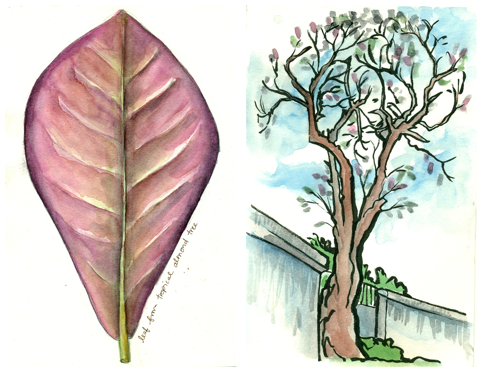 Sketchbook spread of Tropical Almond Lead study (left) and the Almond Tree at Hoa Lo Prison (right). Watercolor and pen. The sketch on the right uses a brush pen.
