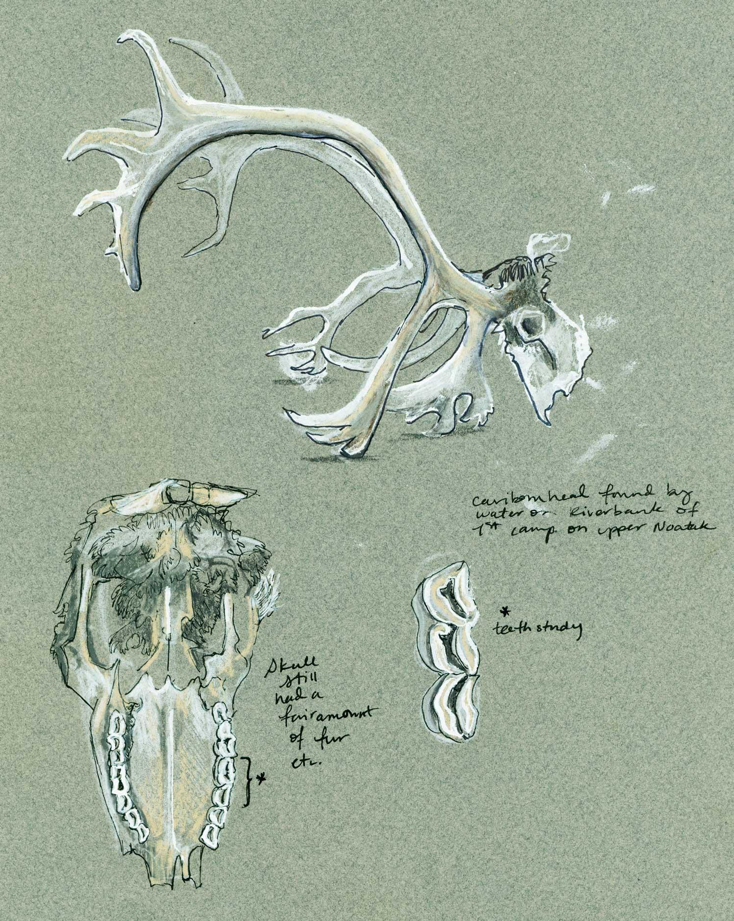 Caribou Skull Study